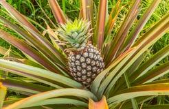 Ananas farm9 Fotografia Stock