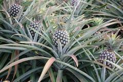 Ananas fresco in un albero immagine stock immagine di for Albero di ananas