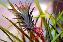 Ananas het groeien op de aanplanting Royalty-vrije Stock Fotografie
