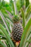 Ananas mûr sur l'arbre dans le jardin photos libres de droits