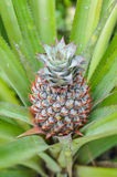 Ananas med dess naturblomma och blad Royaltyfria Foton