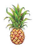 Ananas na białym tle Graficzny rysunek owoce tropikalne handwork Obraz Royalty Free