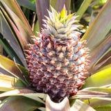 Ananas na drzewie zdjęcia royalty free