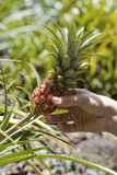 Ananas nano hawaiano (ananas Nanus) Immagini Stock Libere da Diritti