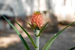 Ananas, planté dans l'extérieur photo libre de droits