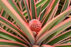 Ananas rosso Immagine Stock Libera da Diritti