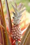 Ananas rosso Immagini Stock