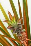 Ananas rosso miniatura Fotografia Stock