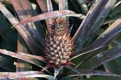 Ananas sul giacimento dell'ananas Concetto di agricoltura dell'azienda agricola Immagini Stock Libere da Diritti