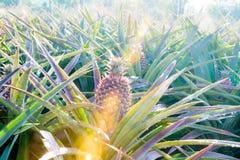 Ananas sul giacimento dell'ananas Concetto di agricoltura dell'azienda agricola Immagine Stock