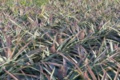 Ananas sul giacimento dell'ananas Concetto di agricoltura dell'azienda agricola Immagine Stock Libera da Diritti