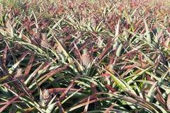 Ananas sul giacimento dell'ananas Concetto di agricoltura dell'azienda agricola Fotografia Stock