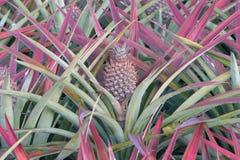 Ananas sul giacimento dell'ananas Concetto di agricoltura dell'azienda agricola Fotografia Stock Libera da Diritti