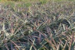 Ananas sul giacimento dell'ananas Concetto di agricoltura dell'azienda agricola Fotografie Stock Libere da Diritti