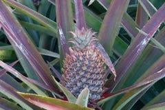 Ananas sul giacimento dell'ananas Concetto di agricoltura dell'azienda agricola Immagini Stock