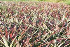 Ananas sur le gisement d'ananas Concept d'agriculture de ferme Images libres de droits