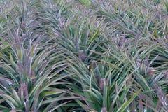 Ananas sur le gisement d'ananas Concept d'agriculture de ferme Images stock