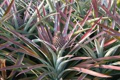 Ananas sur le gisement d'ananas Concept d'agriculture de ferme Photographie stock libre de droits