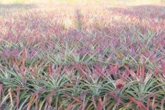 Ananas sur le gisement d'ananas Concept d'agriculture de ferme Image stock