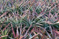 Ananas sur le gisement d'ananas Concept d'agriculture de ferme Image libre de droits