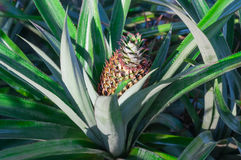 Ananas sur le gisement de fruit tropical Photographie stock