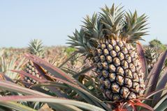 Ananas, tropische Frucht Stockbild