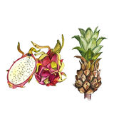 Ananas- und Drachefrucht lokalisiert auf weißem Hintergrund Tropischer Satz, Aquarellskizze Stockfotos