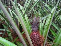 ananas van pijnboombos in een plaats in de stad van Yogyakarta royalty-vrije stock afbeeldingen