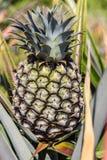 Ananas verde Immagini Stock Libere da Diritti
