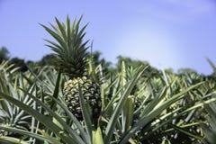 Ananasa gospodarstwo rolne Obrazy Royalty Free