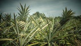 Ananasa gospodarstwo rolne w rocznika koloru stylu Zdjęcia Royalty Free