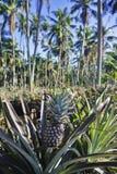 Ananasa ogród Obraz Stock