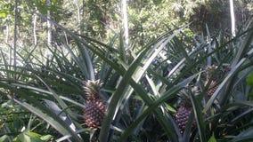 Ananasa ogród Fotografia Stock