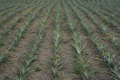 Ananasa pole w Filipiny obrazy royalty free