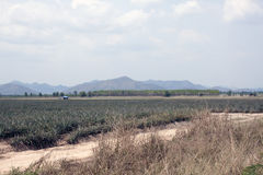 Ananasaanplanting Stock Foto's