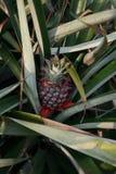 Ananasaanplanting Stock Foto