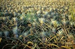 Ananasaanplanting op het Eiland Oahu, Hawaï stock afbeelding