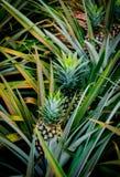 Ananasanlage im Bauernhof Lizenzfreies Stockfoto