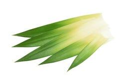 Ananasbladeren zonder schaduw worden geïsoleerd die Royalty-vrije Stock Afbeelding