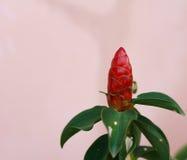 Ananasbloem Royalty-vrije Stock Foto