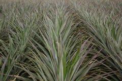 Ananasboom Royalty-vrije Stock Fotografie