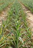 Ananasfält Fotografering för Bildbyråer
