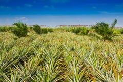 Ananasfeld Lizenzfreies Stockbild