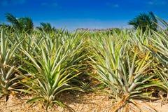 Ananasfeld Lizenzfreies Stockfoto