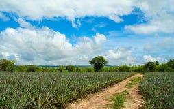 Ananasfeld Lizenzfreie Stockbilder
