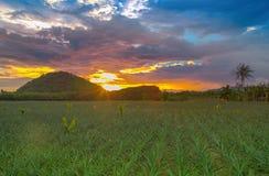 Ananasfeld mit Sonnenunterganglicht und -farben Lizenzfreie Stockfotos