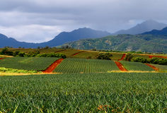 Ananasfelder lizenzfreie stockfotos