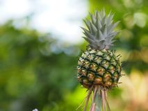 Ananasfrucht auf verwischt vom Naturhintergrundraum für schreiben Benennung stockbild
