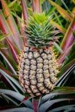 Ananasfrucht im Bauernhof Stockfotos