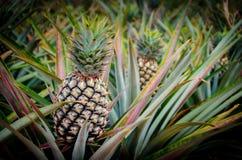 Ananasfrucht im Bauernhof Lizenzfreies Stockbild